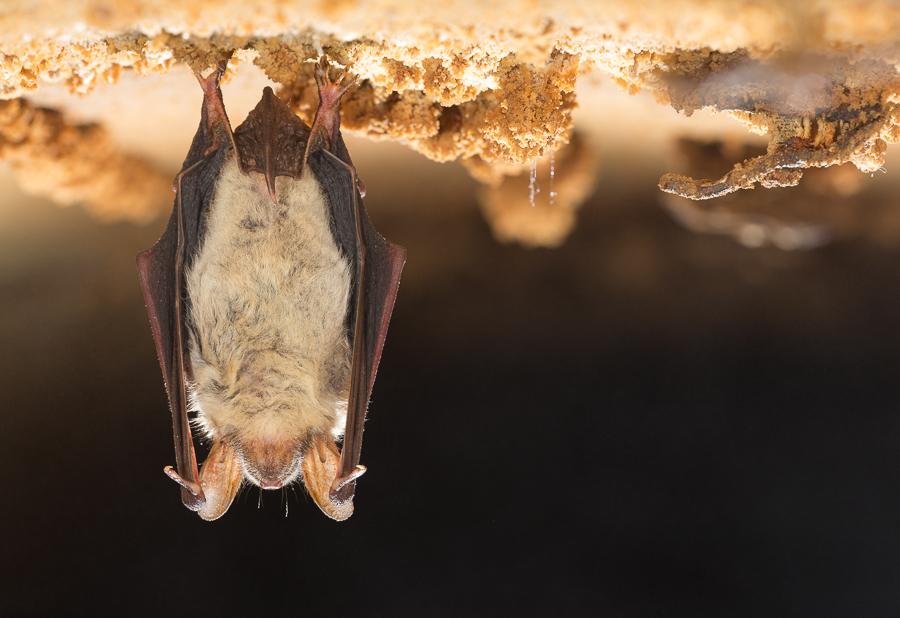 Vale vleermuis (Myotis myotis)