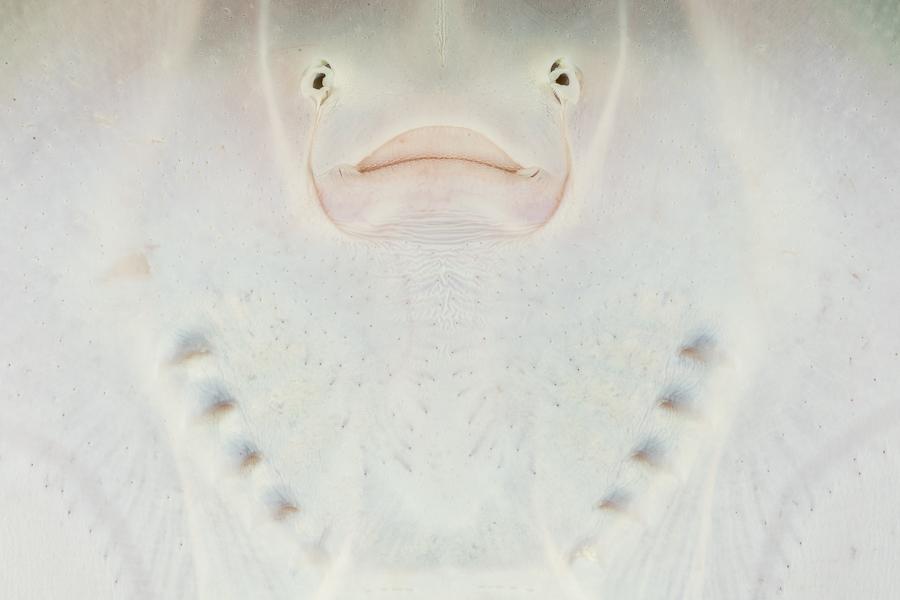 Onderkant Kleinoogrog (Raja microocellata)