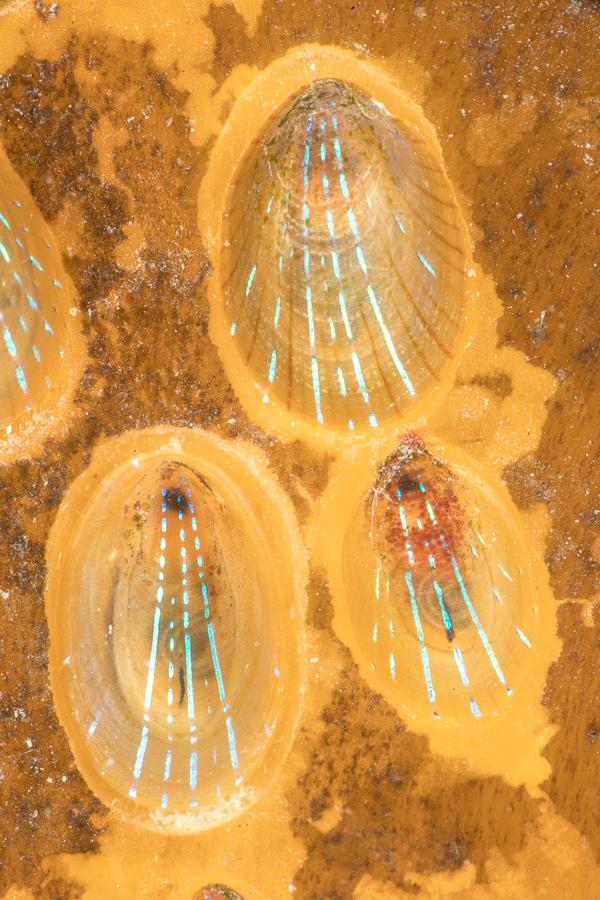 Blauwgestreepte schaalhoren (Patella pellucida)
