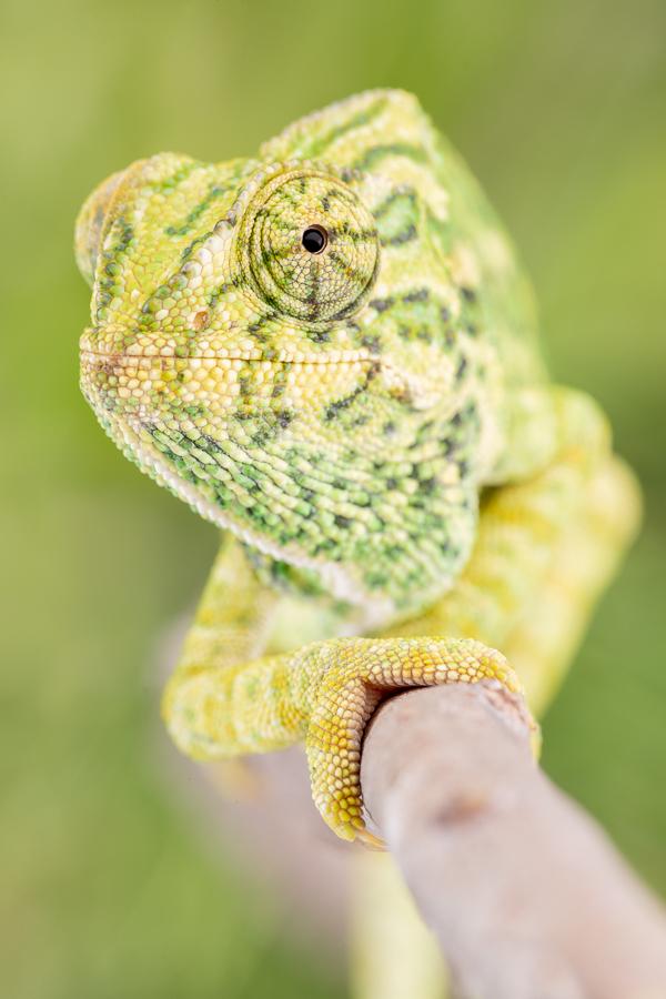 Mediterrane kameleon (Chamaeleo chamaeleon)