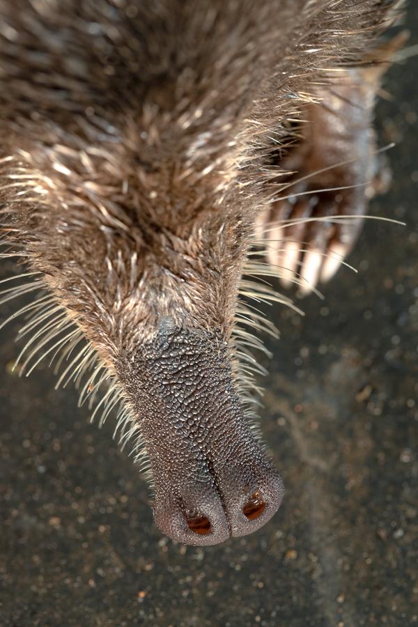 Pyreneese desman (Galemys pyrenaicus)